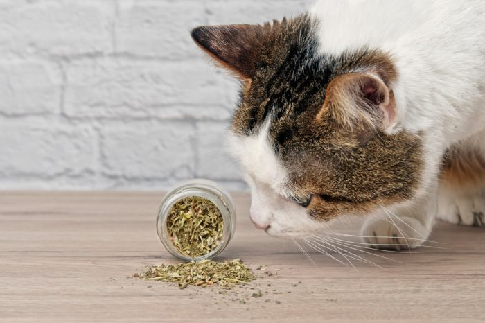cat sniffing catnip, which can also be made into bubbles