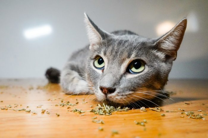 There is Nothing the Same About Catnip and Cannabis