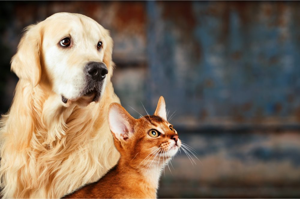 BENEFITS AND RISKS OF USING CBD FOR PETS represented by somewhat quizzical looking dog and cat