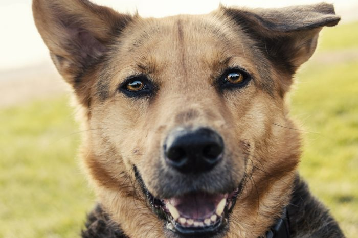 drug sniffing dogs like this german shepherd can find happiness in retirement
