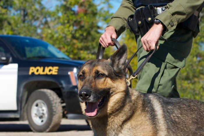 drug sniffing dogs like this german shepherd with hsi pfficercan find happiness in retirement