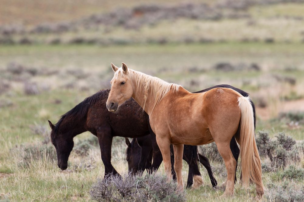 cannabis for horses represented by 2 horses grazing in a field