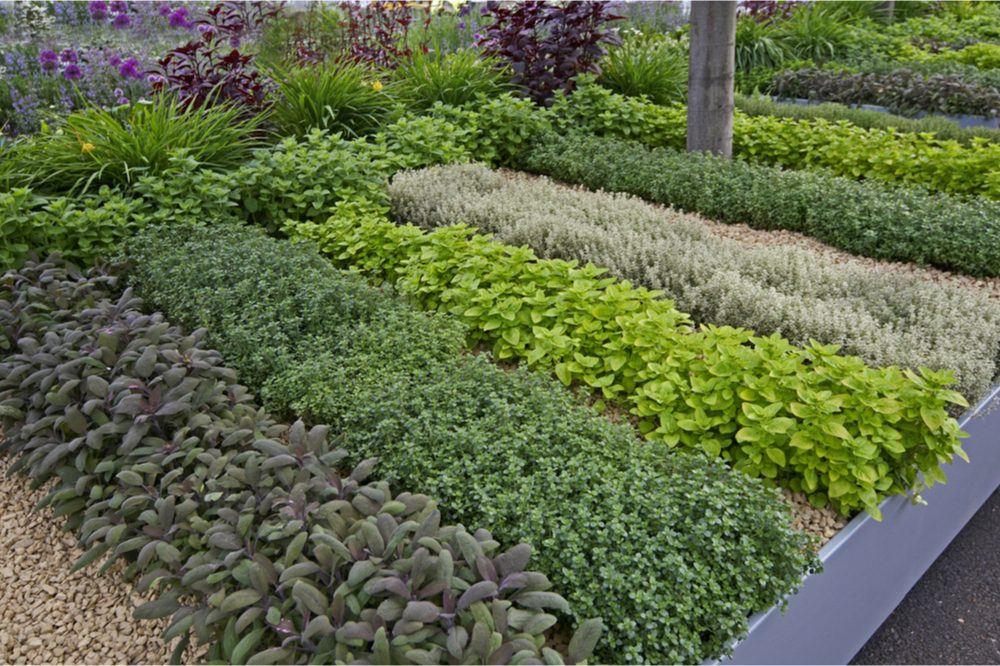 herb garden ideas represented by herbs growing in beautiful rows
