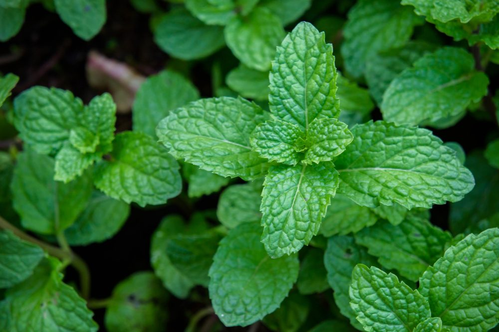 herb garden ideas represented by mint growing