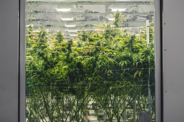 thc for psychosis represented by cannabis plants
