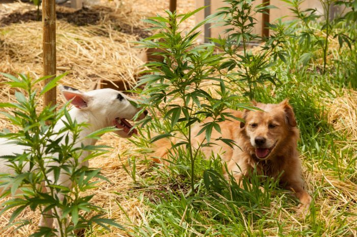 what happens if my dog eats weed represented by dogs in cannabis field