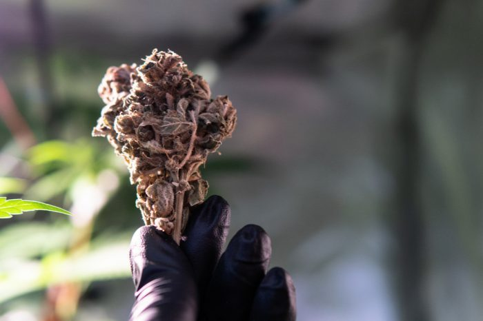 CANNABINOIDS AND TERPENES would be in this cannabis bud held up by gloved hand