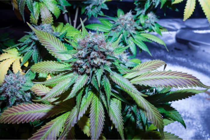 CANNABINOIDS AND TERPENES would be in this potent looking cannabis plant
