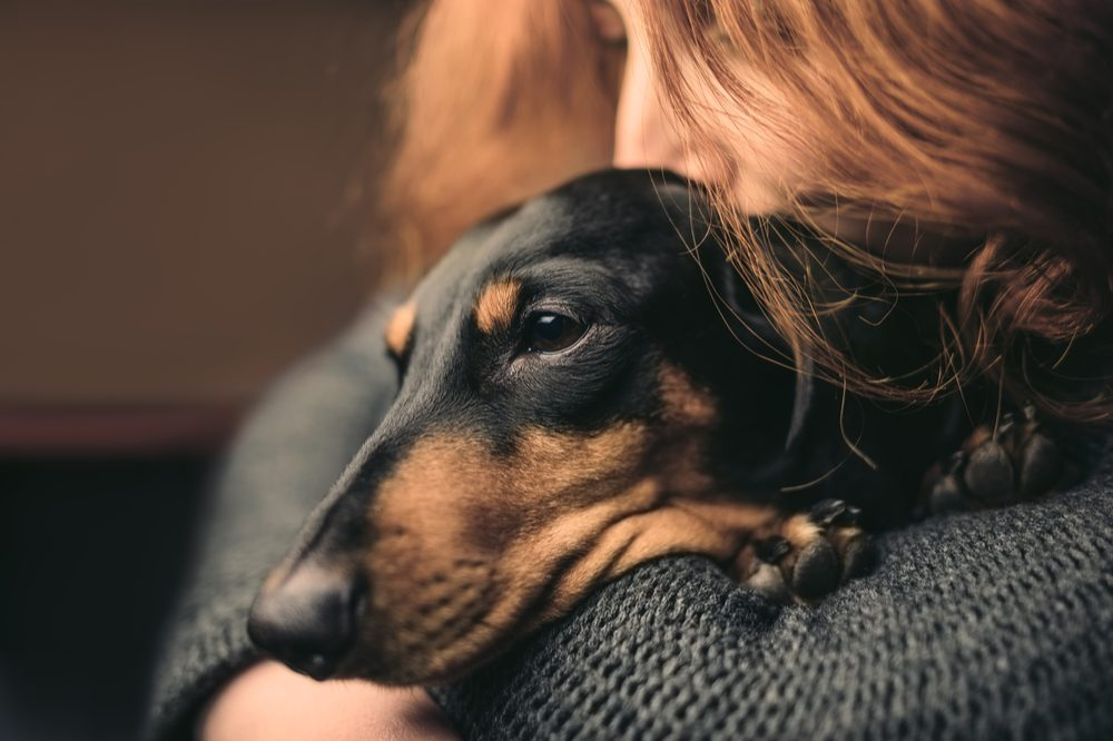 weiner dog with cancer might need some cbd for pain
