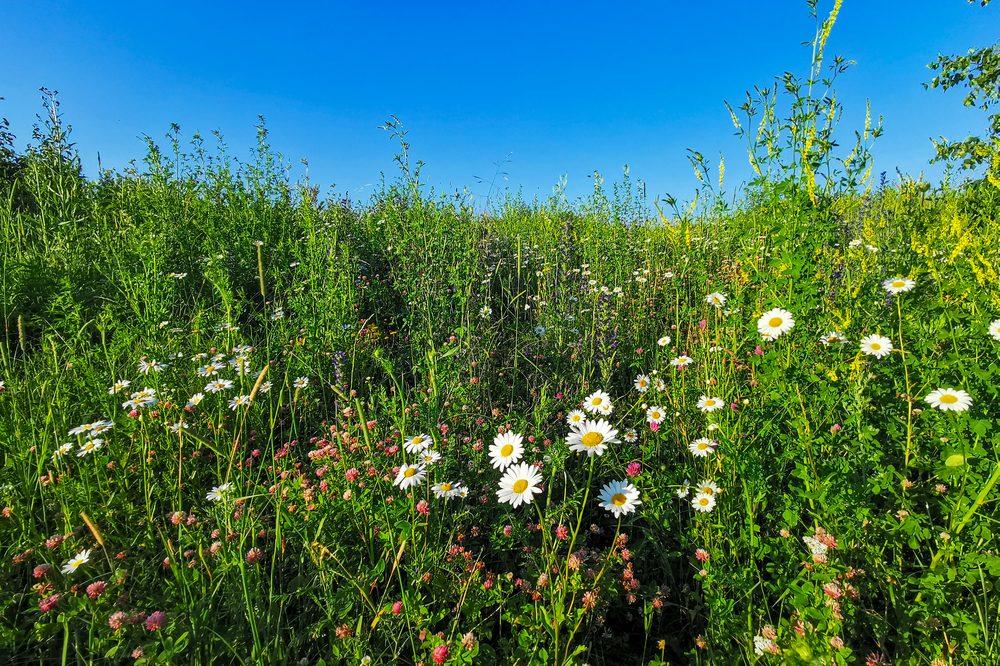 healing garden growing chamomile