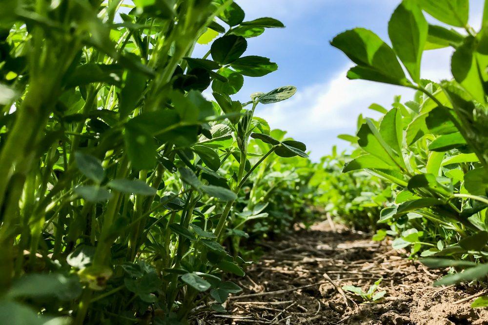 healing garden growing alfalfa