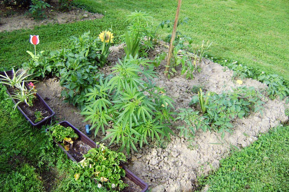 healing garden with cannabis and other plants