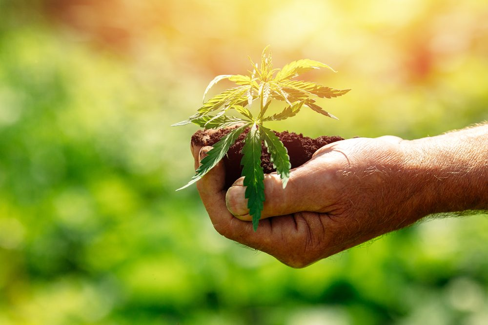 naturopathy represented by cannabis plant in soil in person's hand