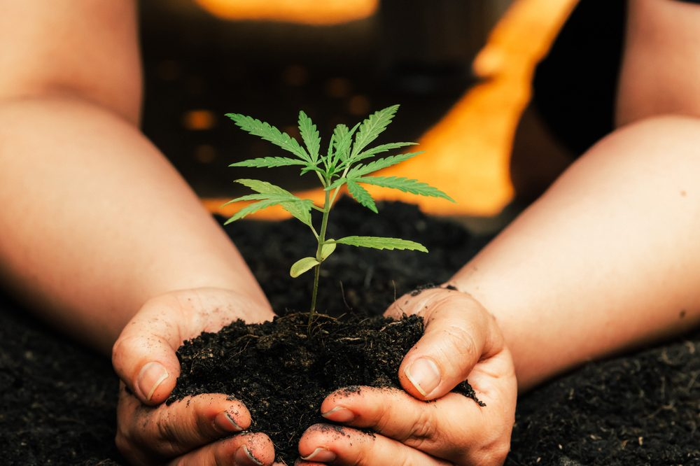 sustainable hemp represented by seedling growing in soil