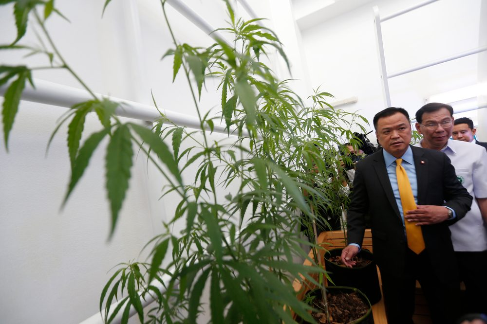traditional thai medicine represented by large cannabis plants and thai health minister