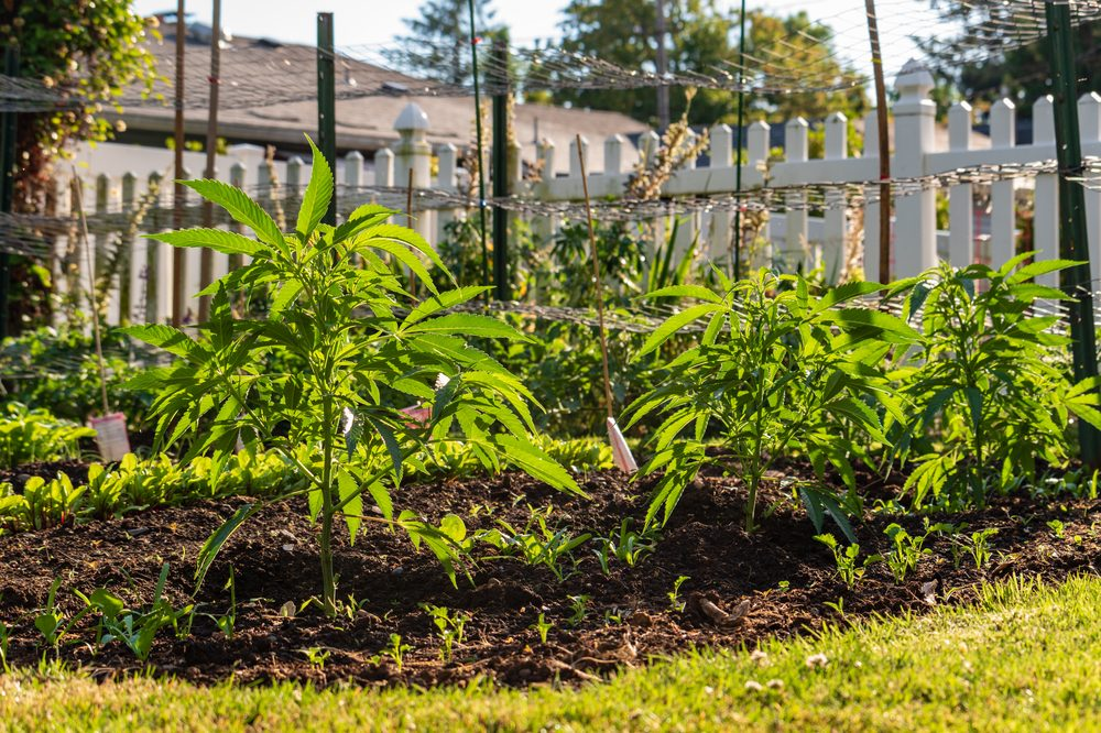 growing cannabis outdoors in garden