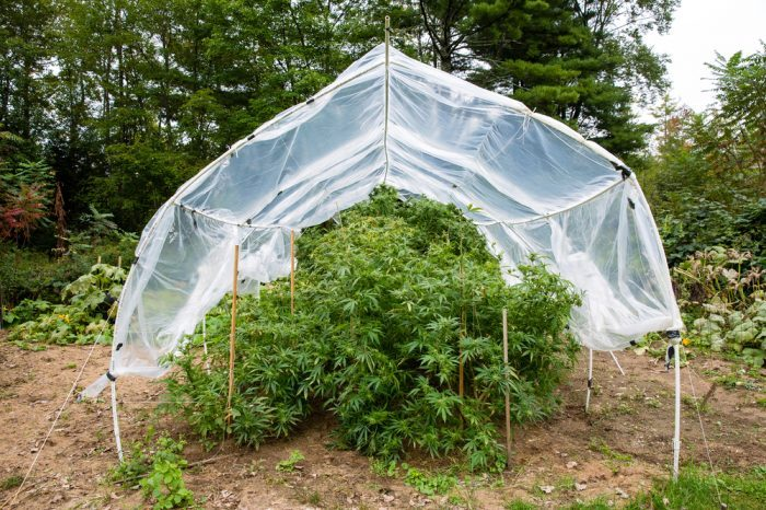 INTEGRATED PEST MANAGEMENT represented by cannabis grow in grow tent outside
