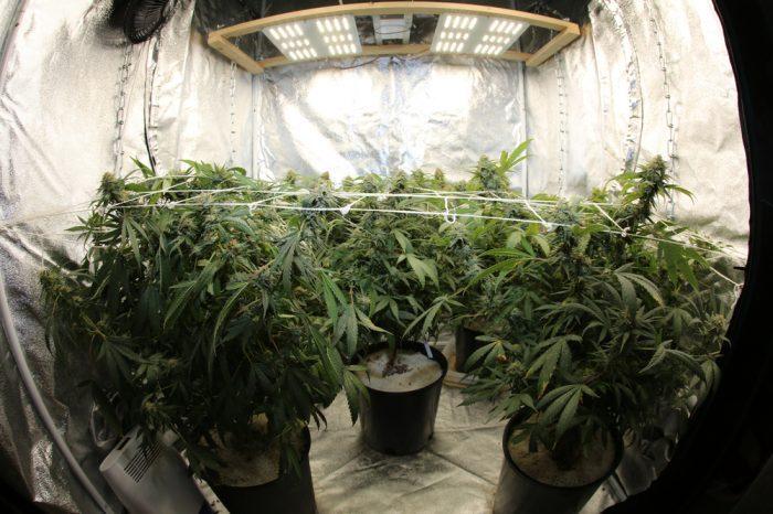 Indoor Grow Tent with big healthy plants
