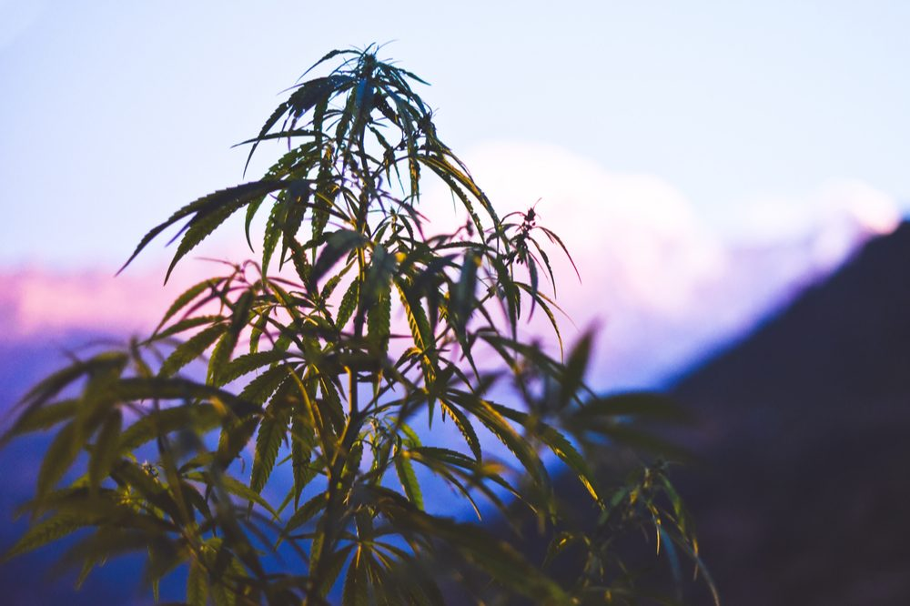 The ancient history of cannabis begins in central Asia where a cannabis plant grows in this picture