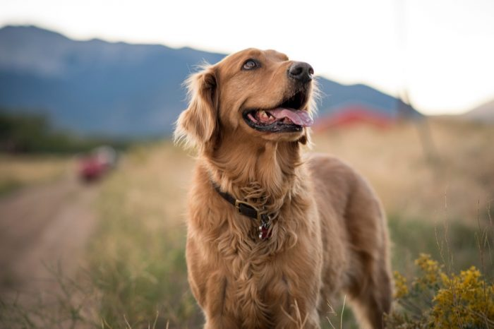 "before asking ""can I give cbd to my dog?"" ask if your dog just needs more exercise, like this happy golden retreiver is getting"
