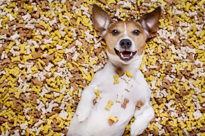 cbd treats for dogs represented by jack russel laying in treats