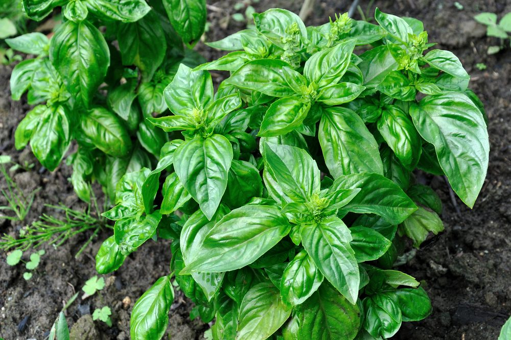 common grow problems represented by basil, a common companion plant