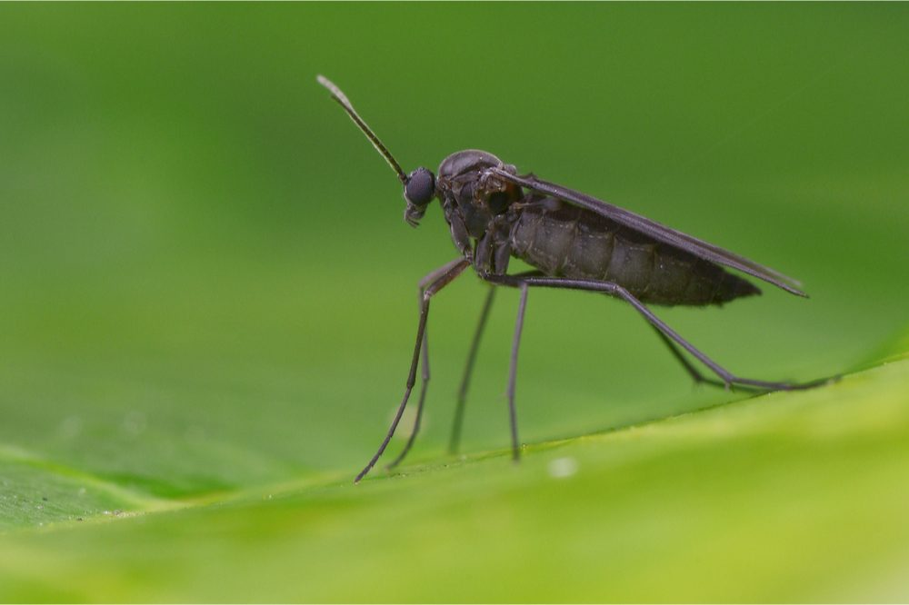 common grow problems represented by fungus gnat