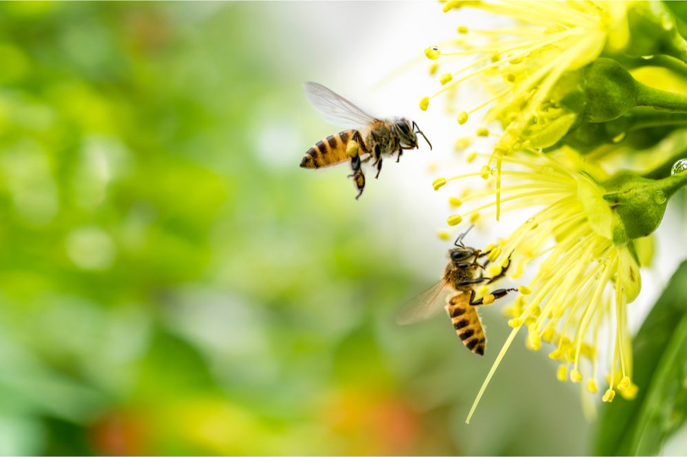 geraniol is a chemical these bees release onto flowers