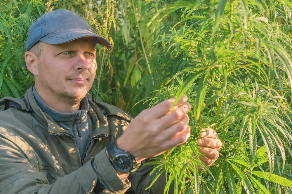 Man looks at hemp plant in field, there is new device which now helps police how to identify a hemp plant