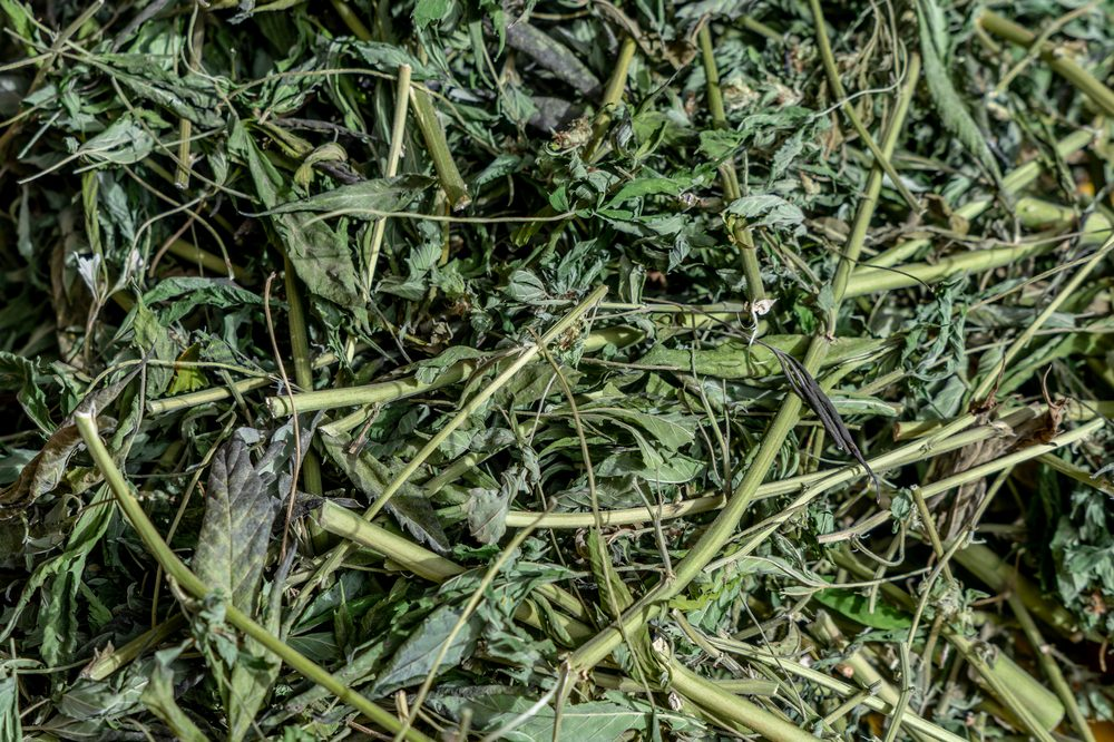 A bunch of leftover cannabis stems lying on the ground beg the question of what to do with cannabis stems