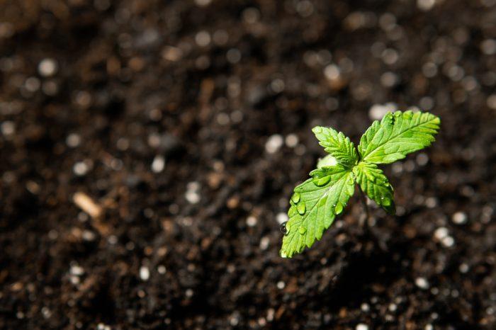 big tobacco and cannabis represetned by cannabis sapling pushing through soil
