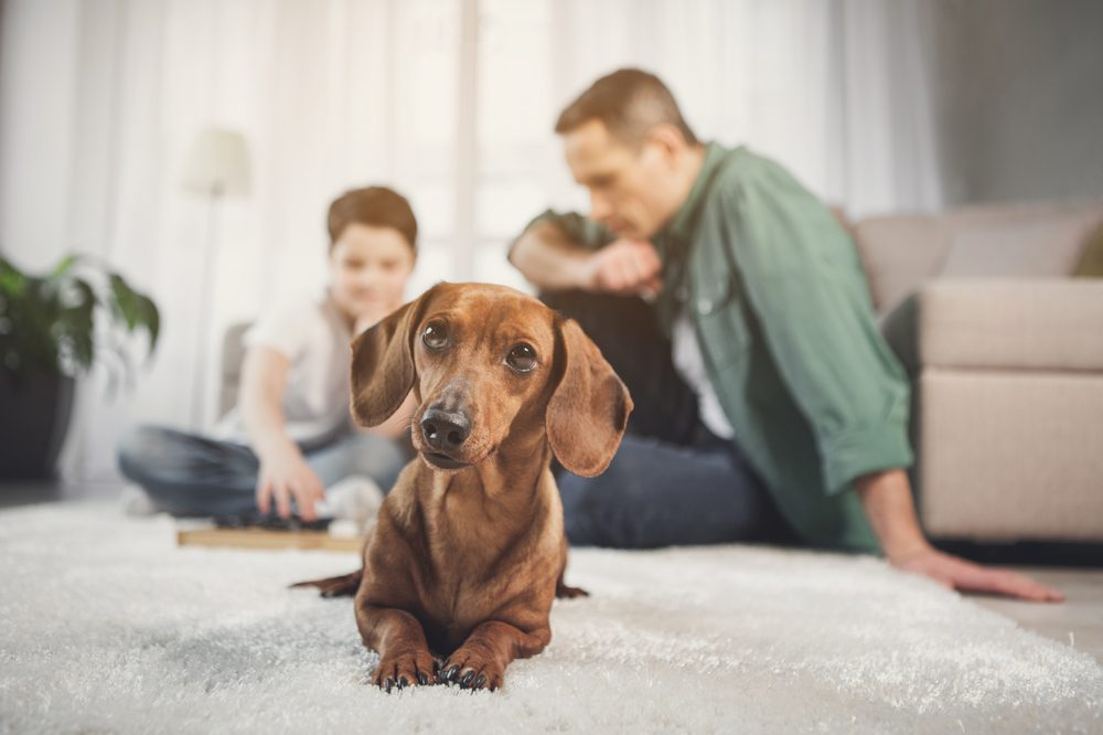 how much cbd should I give my dog represented by curious weiner dog
