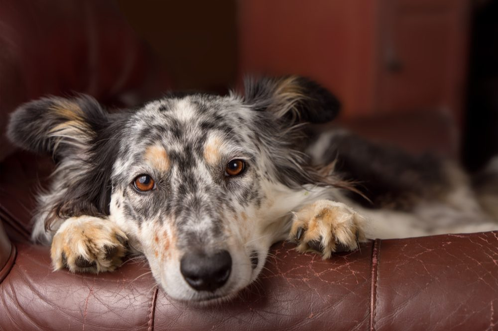 how much cbd should I give my dog represented by australian shepherd curious