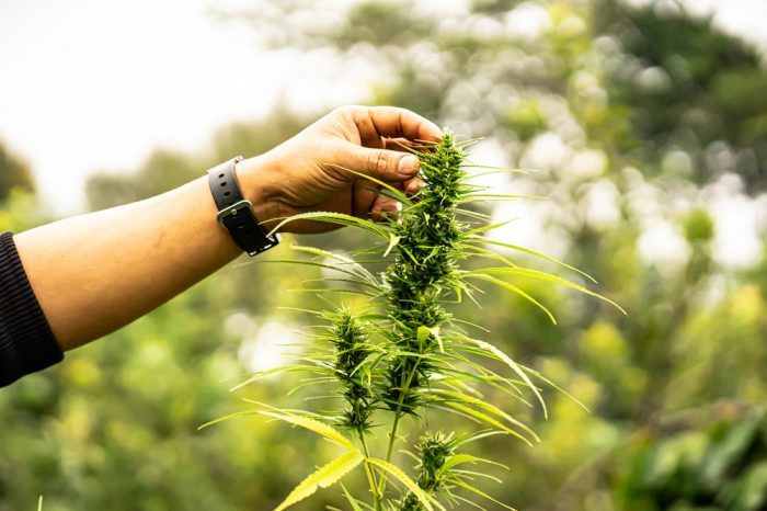 Spring's Coming - So Here's How To Grow Bigger Buds Outdoors