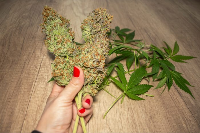how to grow bigger buds outdoors represented by white female hand with painted nails holding massive dried buds