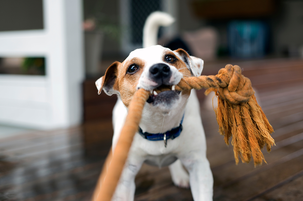 How to Play Tug-of-War with Dogs Without Building Aggression