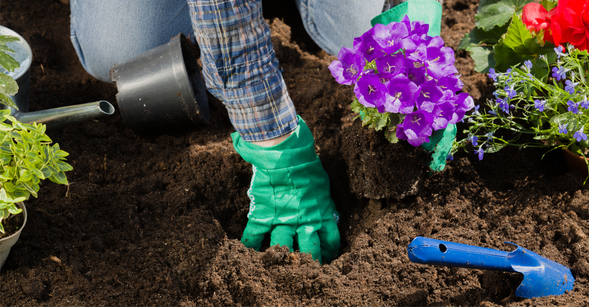 gardener with purple flowers suggesting that dirt is good for you