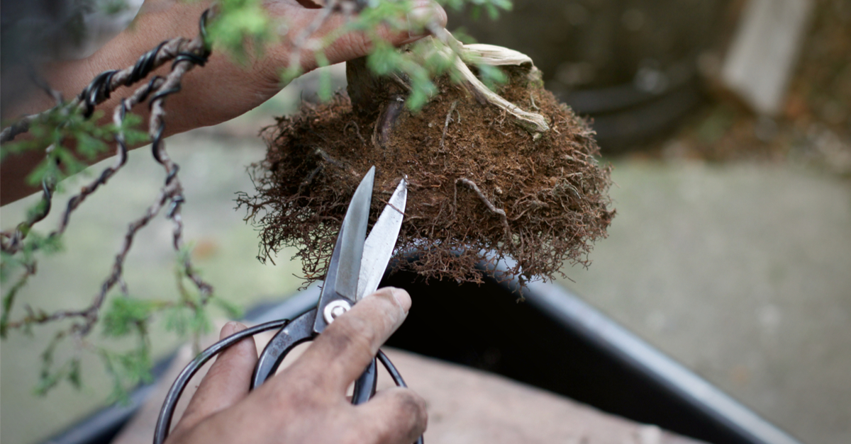 pruning a bonsai tree up close