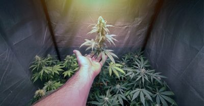 Growing Cannabis In Small Spaces Is Easy With These Tricks