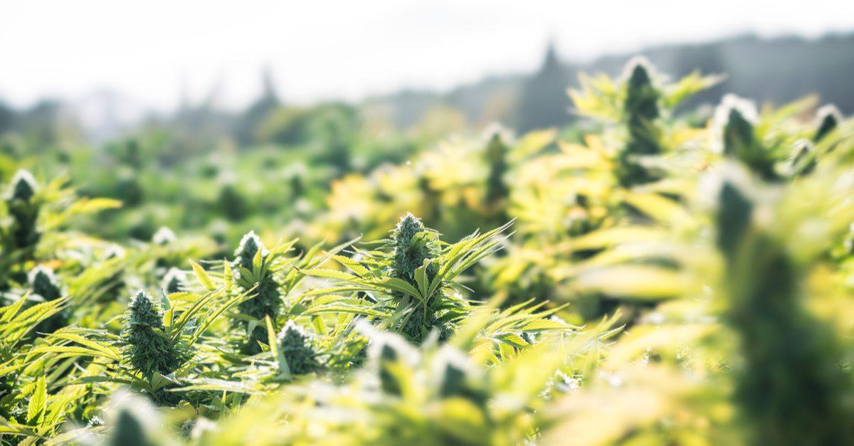 cannabis growing outside in sunlit field