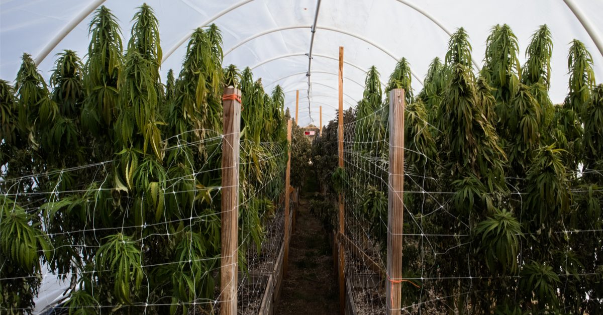 how to grow hemp represented by hemp plants in tent