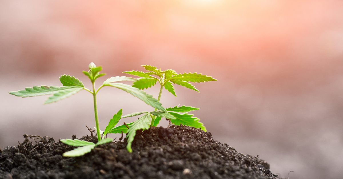 how to grow hemp represented by baby hemp plants in field