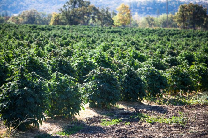 How To Grow Hemp and Why It Isn't Easy