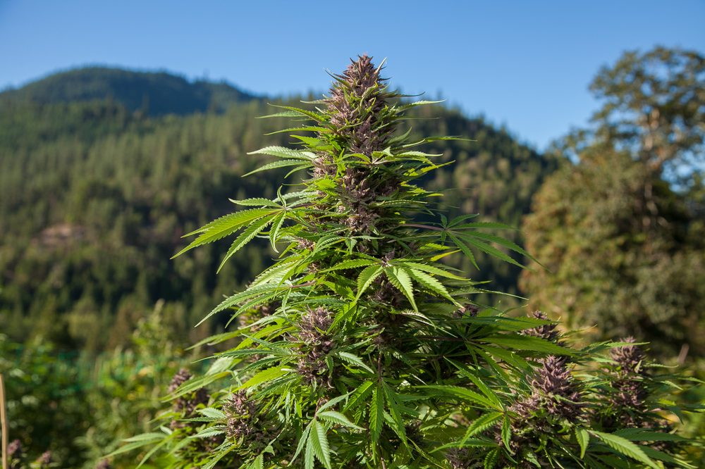 Illegal cannabis field with close up of one plant with pinkish buds ready for harvest
