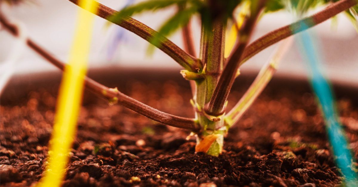 Innovative cannabis products represented by plant with training strings on it