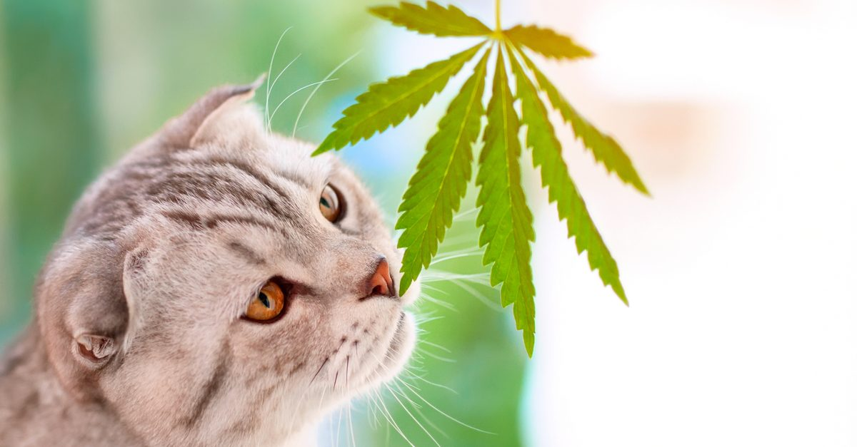 is cbd legal for pets represented bycat sniffing cannabis leaf