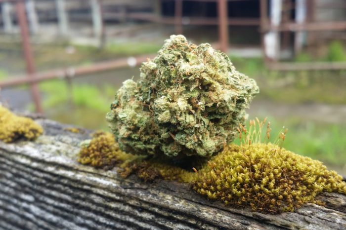 thcv strains represented by large nug of durban poison