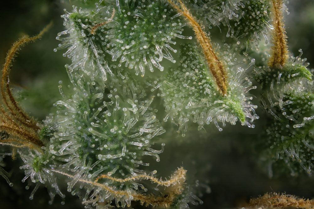 smell of cannabis represented by closeup of trichomes