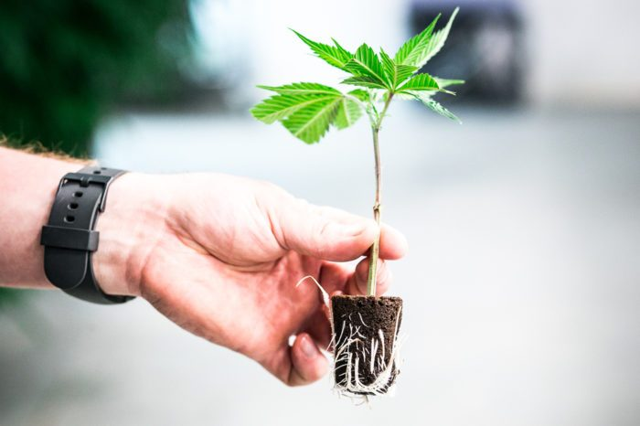 thcv strains represented by hand holding seedling