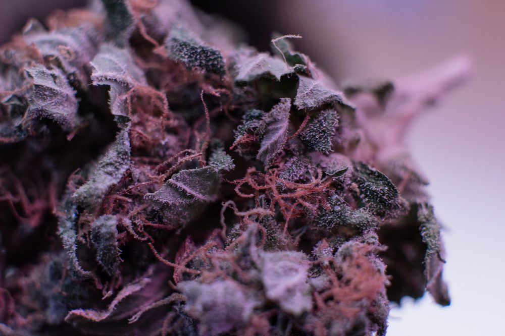 what is kush represented by closeup on purple kush plant